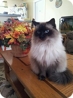 Ragdoll Cat For Adoption In Vero Beach Florida Lilly