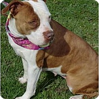Adopt A Pet :: Sugar - Red-Nosed Sweetie! - Sacramento, CA