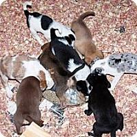Adopt A Pet :: Carolyn Wilder's pups - Southampton, PA