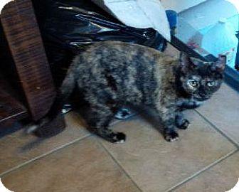Domestic Shorthair Cat for adoption in Burlington, Ontario - Precious