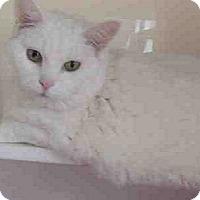 Adopt A Pet :: Cotton- BIG PERSONALITY - Herndon, VA