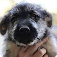 Adopt A Pet :: Carmello - Alpharetta, GA