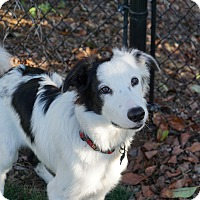 Adopt A Pet :: PIRATE (Courtesy List) - San Pedro, CA