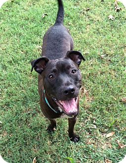 Labrador Retriever/Pit Bull Terrier Mix Dog for adoption in Austin, Texas - Stevie Wonder