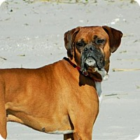 Adopt A Pet :: Bocephus - Wilmington, NC