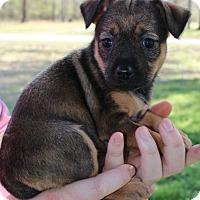Adopt A Pet :: Taylor - Starkville, MS