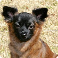 Adopt A Pet :: Leia & Chewy Bonded Sister & Brother - Dallas, TX