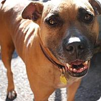 Boxer Mix Dog for adoption in Decatur, Georgia - Mira