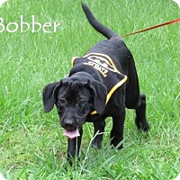 Adopt A Pet :: Bobber-pending adoption - Manchester, CT