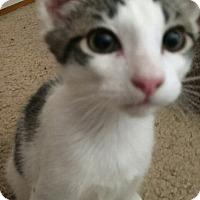 Domestic Shorthair Kitten for adoption in Gilbert, Arizona - Eddie
