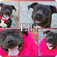 Adopt A Pet :: Ella ($200 Adoption Fee) - Allentown, PA