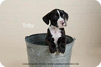 American Bulldog Mix Puppy for adoption in Denver, Colorado - Toby