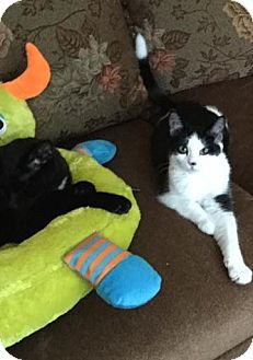 Domestic Shorthair Kitten for adoption in Rochester Hills, Michigan - Panda