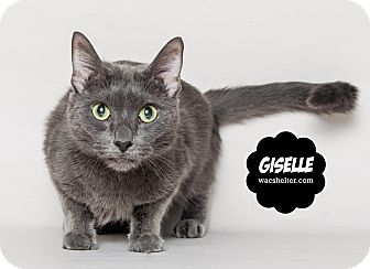 Russian Blue Cat for adoption in Wyandotte, Michigan - Giselle