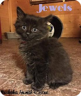 Domestic Mediumhair Kitten for adoption in Huntsville, Ontario - Jewels - Adopted December 2016