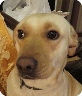 Labrador Retriever Mix Dog for adoption in St Petersburg, Florida - Merry! Yellow Lab SERENE!