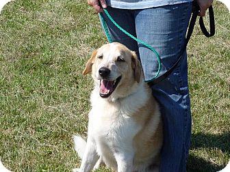 Labrador Retriever Mix Dog for adoption in Zanesville, Ohio - # 187-12 - RESCUED!