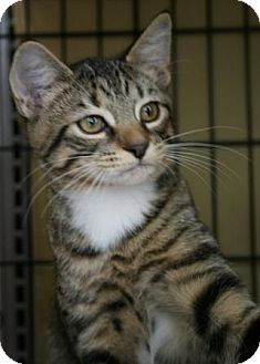 Domestic Shorthair Kitten for adoption in Walkersville, Maryland - AngelCat