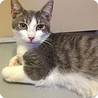 Adopt A Pet :: SYLVESTER - Fountain Hills, AZ