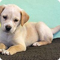 Adopt A Pet :: *Sue Ellen - PENDING - Westport, CT