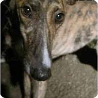 Adopt A Pet :: Millie (Strikermillicent) - Chagrin Falls, OH