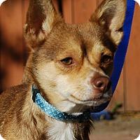 Adopt A Pet :: Slim Jim Fox - Los Angeles, CA