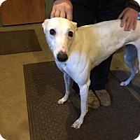Adopt A Pet :: Sigma Inferno - Gerrardstown, WV