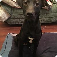 Adopt A Pet :: Rogue - Millersville, MD