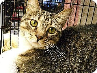 American Shorthair Cat for adoption in Jupiter, Florida - Sox