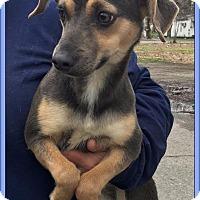 Adopt A Pet :: CARLENE - Lincoln, NE
