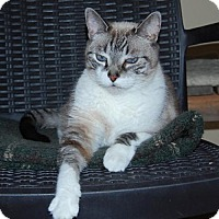 Siamese Cat for adoption in Cuba, New York - Beebe