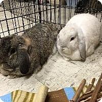Adopt A Pet :: Lola - Woburn, MA