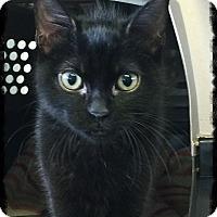 Adopt A Pet :: Atticus - Los Alamitos, CA
