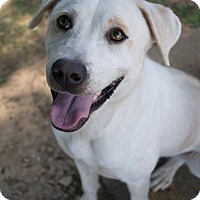 Adopt A Pet :: Snowball - Oxford, NC