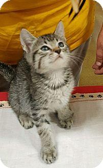 Domestic Shorthair Kitten for adoption in Alhambra, California - Molly