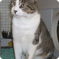Domestic Shorthair Cat for adoption in St. Charles, Missouri - Toby