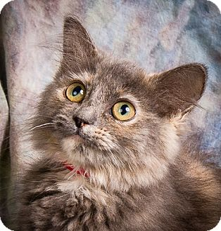 Domestic Mediumhair Kitten for adoption in Anna, Illinois - RHEA