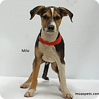 Adopt A Pet :: Milo - Waterbury, CT