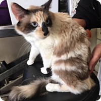 Snowshoe Cat for adoption in Elk Grove, California - TRESSA