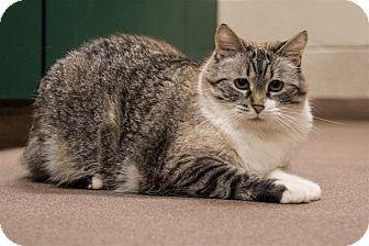 Siamese Cat for adoption in Sedona, Arizona - Mindy