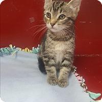 Adopt A Pet :: Kit Kat - yuba city, CA