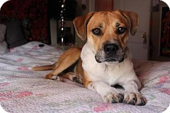 American Bulldog Mix Dog for adoption in Denver, Colorado - Athena