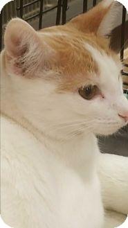 Domestic Shorthair Cat for adoption in Griffin, Georgia - Kato