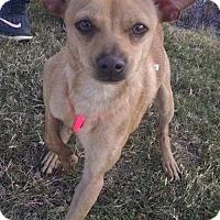 Adopt A Pet :: Little Bit - Ringoes, NJ