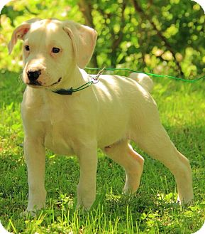 American Bulldog Mix Puppy for adoption in Brattleboro, Vermont - Laddie