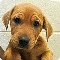 Adopt A Pet :: Rolls - white settlment, TX