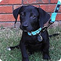 Adopt A Pet :: *Bentley - PENDING - Westport, CT