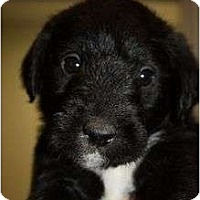 Adopt A Pet :: CAPONE - La Mesa, CA