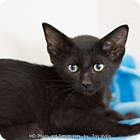 Adopt A Pet :: Felix II - Fountain Hills, AZ