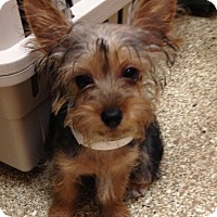 Adopt A Pet :: Yorkie pups - Fairview Heights, IL